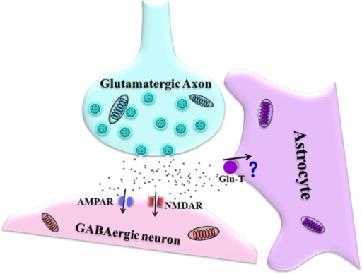 The dysfunction of glutamate transporter in the astrocyte leads to the impairment of GABAergic neuron during acidosis.Extracellular acidification impairs the function of astrocytic glutamate transporter (Glu-T), and the subsequent glutamate accumulation deteriorates GABAergic neurons through activating ionotropic glutamate receptors, such as NMDAR and AMPAR.