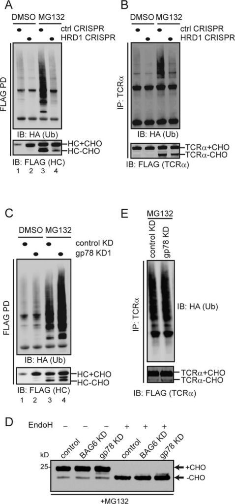 Hrd1 but not gp78 is required for ubiquitination of ERAD substrates. (A and B) The model ERAD substrates MHC 1-147-FLAG (A) and TCRα-YFP-FLAG (B) were cotransfected with a construct expressing HA-tagged ubiquitin in either control or hrd1 CRIPSR cell. The cells were treated with either DMSO as a control or with the proteasome inhibitor MG132 (10 μM, 15 h). Substrates immunoprecipitated from the cell extracts under denaturing conditions were analyzed by immunoblotting. The anti-HA blot reveals ubiquitinated substrate and the anti-FLAG blot shows the nonubiquitinated glycosylated and deglycosylated substrates. (C) As in A, except that cells treated with the indicated shRNA constructs were used. (D) As in B, except that cells treated with the indicated shRNA constructs were used. (E) Endoglycosidase H treatment of the indicated cell extract reveals the glycosylation pattern of MHC 1-147 in the indicated CRISPR cells that have been exposed to a proteasome inhibitor.