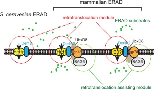 The functional relationship between gp78 and Hrd1. Hrd1 is the essential retrotranslocation regulator conserved in yeast and mammalian cells, whereas gp78 serves an assisting role downstream of Hrd1 and possibly another ubiquitin ligase in mammalian cells. gp78 may promote ERAD by maintaining the functionality of the BAG6 complex.