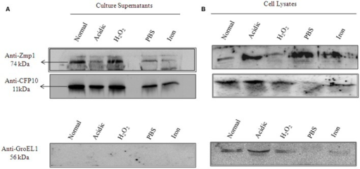 Zmp1 is expressed and secreted by in vitro grown Mycobacterium tuberculosis H37Rv under granuloma-like conditions.(A) The culture supernatants of in vitro grown M. tuberculosis H37Rv under normal conditions and under various stress conditions, such as, acidic pH5.5, H2O2 induced oxidative stress, nutrient starvation and iron depletion, were precipitated by 10% trichloroacetic acid and the resultant precipitate was subjected to Western blot using Mouse anti-Zmp1 antibody (1:1000 dilution; Upper panel). Rabbit anti-CFP10 antibody (1:1000 dilution) against CFP10, a culture filtrate protein 10, was used as a positive control (Middle Panel) and Mouse anti-GroEL1 antibody (1:1000 dilution) against GroEL1, a cytoplasmic chaperone was used as a negative control (Lower Panel) to evaluate for cell lysis products in supernatants. The absence of band corresponding to GroEL1 in the supernatant fractions suggests the purity of culture filtrate preparations. (B) Figure represents the Western blots with the whole bacterial lysates as control experiment.