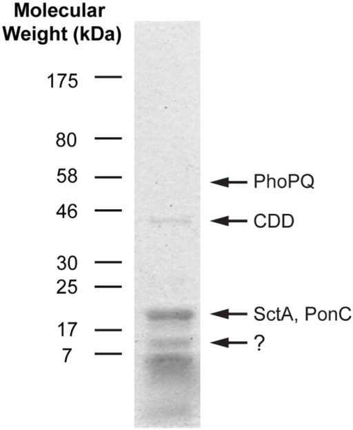 Protein profile of purified MLBs.Proteins were extracted from purified MLBs, solubilized with denaturation solutions, and run on an SDS-PAGE gel. The gel was stained with Coomassie blue to reveal the proteins. Most of the proteins had low molecular weights. Only a few major bands are visible on the gel. Based on mass spectrometric results, the 18-kDa band was a mix of the SctA and PonC proteins, while the 46 and 56-kDa bands corresponded to the CDD and PhoPQ proteins, respectively. The 10-kDa band gave inconclusive results.