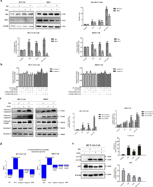 DY promoted 5-FU-induced apoptosis via a caspase-dependent apoptosis pathway.(a) Effects of 48 treatment with DY and/or 5-FU on the expression levels of Bax and Bcl-2 proteins in two CRC cell lines. (b) Activities of caspase-3/9 in two CRC cell lines treated with DY and/or 5-FU for 48 h with or without the caspase-3 & 9 inhibitors (Z-DEVD-FMK & Z-LEHD-FMK). (c) Expression levels of cleaved-caspase 3/9 and cleaved PARP in two CRC cell lines following the treatment with DY and/or 5-FU for 48 h were measured and normalized by β-actin (β-actin-1, cleaved caspase-3/9; β-actin-2, cleaved PARP). (d) Correlation between cell viability and protein expression was evaluated by a log-norm distribution analysis. (e) Cells were treated with either DY or 5-FU or their combination for 24 h, the expression levels of LC3I/II and p62 were then analyzed and respectively normalized by β-actin. The ratios of LC3II/LC3I and expression levels of p62 are presented in right histograms. All the values are expressed as mean ± SD (n = 3). #P < 0.05, ##P < 0.01, ###P < 0.001, vs control group. While *P < 0.05, **P < 0.01, ***P < 0.001, vs (5-FU + DY) group, α, β and γ respectively indicated a significant difference was found between DY, 5-FU or DY + 5-FU group and their casapse-3/9 inhibition groups (P < 0.05).