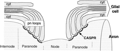 Schematic structure of the nodal region and the locatio