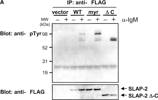 SLAP-2 associates with tyrosine phosphorylated proteins including Cbl after antigen stimulation. (A) SLAP-2 associates with tyrosine phosphorylated proteins in B cells. Sorted tTA-BJAB cells infected with epitope-tagged wild-type (WT) SLAP-2, SLAP-2-myr, or SLAP-2-ΔC were stimulated with anti-IgM F(ab′)2 for 2 min, lysed, and SLAP-2 was immunoprecipitated using anti-FLAG agarose. Immunoprecipitated proteins were subjected to SDS-PAGE and immunoblotted with anti-phosphotyrosine antibodies. SLAP-2 associates with tyrosine phosphorylated proteins of ∼110 and 70 kD after antigen stimulation. The ΔC mutant lacks the 110 kD SLAP-2-associated phosphoprotein. Bottom panel: reprobe with anti-FLAG. (B) SLAP-2 interacts with Cbl in B cells. Wild-type SLAP-2, SLAP-2-myr, or SLAP-2-ΔC were immunoprecipitated as in (A) and immunoblotted with anti-Cbl antibodies. Wild-type SLAP-2 and SLAP-2-myr but not SLAP-2-ΔC associate with Cbl after antigen stimulation.