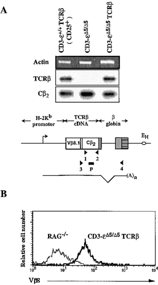 Assessment of TCR-β  transgene expression by RNA-PCR and intracytoplasmic staining. (A) CD25+ cells sorted from  TCR-β transgenic wild-type  thymuses (CD3-ε+/+ TCR-β)  and total thymocytes from  TCR-β transgenic CD3-εΔ5/Δ5  mice (CD3-εΔ5/Δ5 TCR-β) were  analyzed for the presence of transcripts originating from the P14  TCR-β transgene using the  RNA-PCR strategy depicted in  the bottom diagram. The P14  TCR-β cDNA is expressed under the control of the H-2Kb  promotor and IgH chain intronic  enhancer (EH). The 3′ end of the  P14 TCR-β cDNA is linked to  a genomic fragment of the human β globin gene that provides  both an intron and a polyadenylation sequence (24). Owing to  the presence of this intron, primers for PCR amplification can be chosen to distinguish amplification  products corresponding to transgene transcription (expected size: 0.8 kb)  from those resulting from adventitious DNA contamination (expected  size: 1.6 kb). Accordingly, an antisense primer specific for the 3′ untranslated region of the human β globin gene (primer 4) was used in combination with a sense primer (primer 3) straddling the sequence corresponding  to the third complementarity region of the P14 TCR-β gene. RNA extracted from nontransgenic CD3-εΔ5/Δ5 thymocytes was also included as a  negative control. A second pair of primers (denoted 1 and 2) was used in  parallel to detect both endogenous and transgenic transcripts containing  the TCR Cβ2 exon. The products resulting from amplification with primer  pairs 1 + 2 (TCR Cβ2) and 3 + 4 (TCR-β Tg) were gel fractionated,  blotted, and hybridized with a Cβ2-specific probe (p). The location of  specific primers are indicated by arrowheads and the transcription start  site of the TCR-β transgene by an arrow. Control PCR were set up in  parallel using a pair of primers specific for the actin gene to control for  the quantity and quality of RNA in each sample, run on agarose gel, and  revealed by ethidium bromide staining (Actin). (B) The presence of the  transgenic P14 TCR-β chain within the CD25+ subset present in CD3-εΔ5Δ5 transgenic β thymocytes was revealed by intracellular staining with  an antibody (F23.1) specific for the Vβ8 gene segment used by the P14  TCR β chain. RAG-1−/− thymocytes were also included as negative  controls. Cytoplasmic staining of the CD25+ compartment from nontransgenic CD3-εΔ5/Δ5 mice revealed <1% F23.1+ cells.