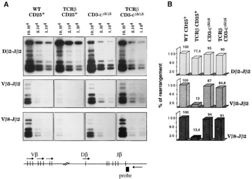 Expression of a transgenic TCR-β chain does not inhibit endogenous Vβ to DβJβ rearrangements in the absence of CD3-ε polypeptide. (A)  Relative levels of TCR-β rearrangements in CD25+ cells sorted from CD3-ε+/+ (WT CD25+) and CD3-ε+/+ TCR-β (TCRβ CD25+) thymuses, and  total thymocytes from CD3-εΔ5/Δ5 and CD3-εΔ5/Δ5 TCR-β mice. Identical sorting windows were set up on CD25high DN cells for both the CD3-ε+/+ and  CD3-ε+/+ TCR-β samples. Considering that they contain >90% CD44−/lowCD25high DN cells (see Fig. 2), the CD3-εΔ5/Δ5 and CD3-εΔ5/Δ5 TCR-β  thymuses were not subjected to sorting before analysis. The extent of Dβ–Jβ and Vβ–DβJβ rearrangements were analyzed by DNA-PCR. The relative  positions of the PCR primers within the TCR-β locus are depicted by arrows in the bottom diagram. Products derived from PCR reactions involving  the intronic Jβ2 3′ primer with Dβ2- (top), Vβ5- (middle) or Vβ8- (bottom) specific 5′ primers were gel fractionated and detected with the intronic probe  depicted at the bottom (probe). Note that the cDNA-based P14 TCR-β transgene (Vβ8.1-Dβ-Jβ2.4) is not detectable with the pair of primers used to  reveal endogenous Vβ8–Jβ2 rearrangements. For each sample, dilutions of DNA template corresponding to 1 × 105, 2 × 104, and 1 × 104 cell equivalent were analyzed. (B) Quantification of the results shown in A. Hybridizing bands were scanned using a phosphorimager and the relative percentages of  rearrangements compared to those present in CD25+ cells from CD3-ε+/+ (WT) mice.