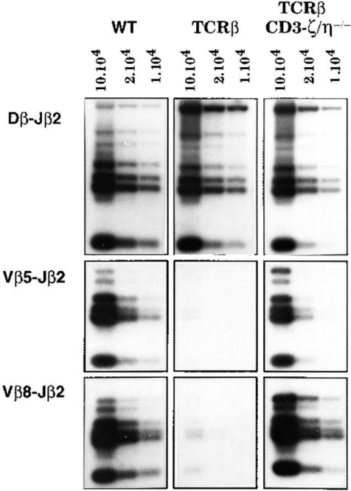 Expression of a transgenic TCR-β chain does not inhibit endogenous Vβ to DβJβ  rearrangements in the absence of  CD3-ζ/η polypeptide. The relative levels of TCR-β rearrangements found in CD3-ζ/η+/+  (WT), CD3-ζ/η+/+ TCR-β  (TCRβ), and CD3-ζ/η−/−  TCR-β thymocytes were determined as described in the legend  of Fig. 4.