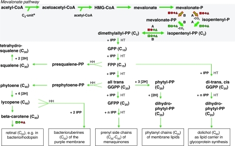 "Biosynthesis of isoprenoids in halophilic archaea. The isoprenoid precursor IPP is synthesized via the mevalonate pathway as shown by labeling studies (green reaction exists, red reaction absent, bold experimental verification). Various isoprenoids detected in membranes of H. salinarum (listed in boxes) are synthesized by a series of condensation reactions with IPP, which is added in head–tail (HT) or head–head (HH) fashion, and through desaturase reactions ([2H]). Enzyme gene sets for isoprenoid synthesis differ only slightly between halorarchaea (square: H. marismortui, circle: H. walsbyi, diamond: N. pharaonis, triangle: H. salinarum, green gene exists, red gene absent). Bacterial- (B) or archaeal-type (A) enzyme variants are indicated. Superscript ""a"" indicates C5-prenyl units are synthesized via the mevalonate pathway starting from two acetyl-CoA molecules and a still unknown C2-unit arising from amino acid degradation (Ekiel et al. 1986)"