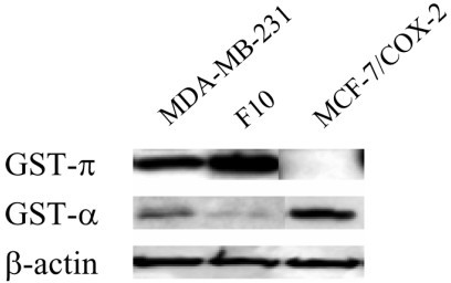 Expression of glutathione S-transferase π and α isoforms in breast cancer cell lines. Expression of glutathione S-transferase (GST)-π and GST-α isoforms in breast cancer cell lines. Protein lysates were obtained from exponentially growing MDA-MB-231, F10, and MCF-7/COX-2 cells. Western blot analyses using polyclonal GST-π and GST-α antibodies were performed. β-actin was used as a loading control.