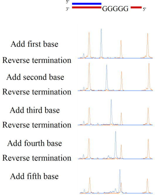 Virtual Terminator nucleotide base-by-base incorporation in a G5 homopolymerThe substrate used for testing homopolymer sequencing is shown along with successive cycles of addition of compound 22 in a solution phase reaction. Removal of the inhibitor-dye was accomplished by cleavage of the disulfide using TCEP, a reducing agent, followed by treatment with iodoacetamide to cap the free thiol. After each cycle, an aliquot of the reaction is run on an ABI3730 sequencing machine to achieve single base resolution of DNA. Length markers are shown in orange and the DNA being synthesized is shown in blue.