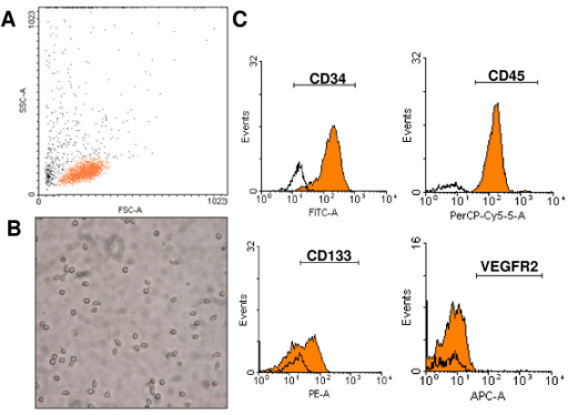 Characterization of human CD34+ cells. A. Scatter analysis reveals a low side scatter and low to intermediate forward scatter population in keeping with small round cells, as shown in (B) photomicrograph (200×). C. FACS analysis of isolated cells. CD34+ cells express CD45dim and CD133 but not VEGFR2.