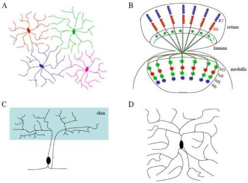 Examples of tiling and self-avoidance in vertebrates and invertebrates. A, A simplified diagram showing the tiling of vertebrate retinal ganglion neurons, based on results in [4]. B, Axonal tiling contributes to the organized columnar projection pattern of R7 and R8 photoreceptor neurons and L1 lamina neurons in the medulla of the Drosophila visual system. While L1 neurons arborize at both M1 and M5 sub-layers, R7 and R8 axons terminate at M6 and M3 sub-layers, respectively. Genetic dissection of neuronal circuit formation in the fly visual system has contributed significantly to our understanding of neuronal positioning, axon guidance and neuronal target selection (e.g. [53-57]). C, A schematic diagram showing the non-overlapping coverage of the receptive field by sister branches from a Pv mechanosensory neuron in leech, based on results in [14]. D, A simplified diagram showing self-avoidance in a Drosophila class IV da neuron, where sister branches tend to avoid each other.