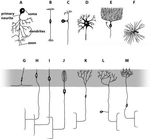 Schematic representation of different types of neurons open i schematic representation of different types of neurons modified from various sources a ccuart Images