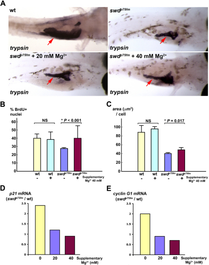 Supplementary Mg2+ partially rescues the growth defect of exocrine pancreas in swd mutants by improving cell-cycle progression and cell growth, with repression of p21cdkn1a and cyclin G1. Exocrine pancreas of the swdp75fm mutants and WT siblings incubated in medium with or without supplementary 20 mM or 40 mM MgCl2 was analyzed. The swdp75fm mutants were identified on the basis of their hypopigmented skin, which was minimally affected by the supplementary MgCl2. (A) Exocrine pancreas (red arrows) in the larvae of 5 dpf embryos by in situ hybridization using anti-trypsin riboprobes. The WT embryos were grown in medium supplemented with PTU, which inhibits skin pigmentation and facilitates visualization of the trypsin-expressing exocrine pancreas. Each larva shown is representative of 40 larvae in each experimental group, and this experiment was performed three times with similar results. (B) Proliferation assay to determine the proportion of BrdU+ nuclei (cells in S phase) in the exocrine pancreas at 72 hpf. (C) Morphometric analysis of exocrine pancreatic cell growth (area, in μm2, per cell) at 5 dpf. Each value represents the mean of five larvae + s.d. *P<0.05 is considered statistically significant. NS, not statistically significant. (D,E) Relative mRNA levels of p21cdkn1a and cyclin G1 by quantitative real-time PCR at 5 dpf. Each value represents the ratio of p21cdkn1a or cyclin G1 mRNA in the swd mutants to WT in the same experimental group. This experiment was repeated with reproducible results.