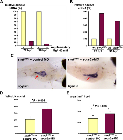 The Mg2+-sensitive Socs3a pathway is involved in the proliferative defect of the swd mutants. Supplementary Mg2+ improves the exocrine pancreas phenotype of the swd mutants that have repression of socs3a. (A) swdp75fm mutants were incubated in E3 medium with or without supplementary 40 mM MgCl2 for 72 or 96 hpf and analyzed for socs3a mRNA by real-time PCR. (B) swdp75fm mutants and WT were incubated in E3 medium (containing 1.65 mM Mg2+) for 72 or 96 hpf, and the socs3a mRNA levels were determined by real-time PCR. (C) Embryos collected from swdp75fm/+ intercross were microinjected with socs3a-ATG-MO or control MO, incubated until 4 dpf and the exocrine pancreas (red arrows) was analyzed by whole-mount in situ hybridization using anti-trypsin riboprobes. The image is representative of 20 larvae in each group from three independent experiments. The swdp75fm mutants injected with either non-targeting control MO or socs3a-5-mispair MO are indistinguishable in the exocrine pancreas by in situ hybridization using anti-trypsin riboprobes. (D) socs3a-ATG-MO- or control-MO-injected larvae were incubated until 72 hpf, injected with BrdU and then analyzed for the proportion of cells in S phase (% BrdU+ nuclei). (E) socs3a-ATG-MO- or control-MO-injected larvae were incubated until 96 hpf and analyzed for cell growth (area, in μm2, per cell). *P<0.05 indicates statistically significant difference. (C-E) The swdp75fm mutants were identified on the basis of their hypopigmented skin, which was not grossly affected by socs3a-ATG-MO.