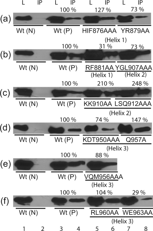 Co-immunoprecipitation assays with alanine substitution mutants. The dimerization ability of Flag-tagged wt or mutant LANADBDs with HA-tagged wt LANADBD was tested. Dimerization activity for each mutant was normalized based on the expression level of Flag-tagged wt or mutant LANADBD proteins. L, Cell lysate, IP; immunoprecipitated samples; Wt (N), HA-tagged wt only as a negative control; Wt (P), Flag-tagged and HA-tagged wt as a positive control.