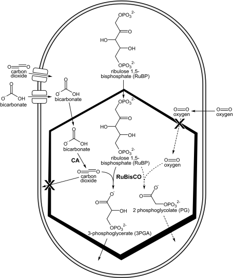 schematic diagram of a cyanobacterial cell containing a