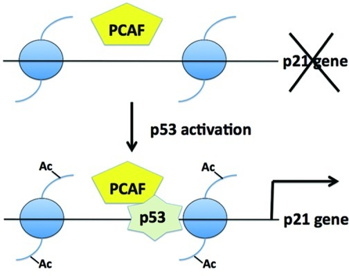 p53 Acetylation: Regulation and Consequences