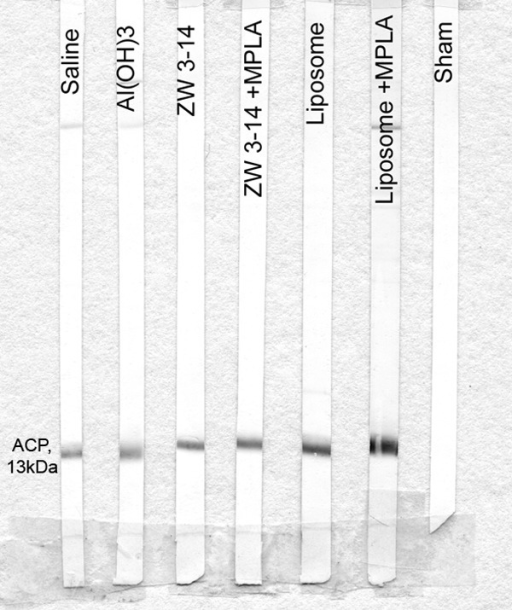 Reactivity of murine anti-rACP sera with MC58 OM in Western blot analysis. Pooled antisera (1/200 dilution) recognized ACP as a single 13-kDa band in OM. All sham antisera were nonreactive, as shown by a representative strip blot.