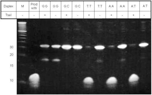 Polyacrylamide gel analysis of matched and mismatched DNA duplexes being cut by TseI. Lane M was the molecular mass marker with 10, 15, 20 and 30 bp DNA indicated. DNA cleavage of A:T, T:T and A:A duplexes by TseI yields four 12–16mer single-strand oligonucleotides matching those shown in the products lane.