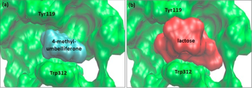 Space-filling representation of the acceptorsite of sialylatedTcTS (green) occupied by (a) 4-methylumbelliferone (cyan) and (b)lactose (red).