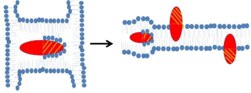 Schematic diagram of a model by which cardiotoxins can form inverted micelles and translocate inside lipid bilayers. Cardiotoxin can imbed inside an inverted micelle (left panel) when trapped between two liposomes or two lipid bilayers (Figure 2). Cardiotoxins can also imbed inside cell membranes to form a transient inverted micelle from which the cytotoxin translocates to either the outer or the inner leaflet of the lipid bilayer with the hydrophilic portion (shaded) exposed to the bulk solvent while the hydrophobic region (non-shaded) of cardiotoxin interacts with phospholipid tails.