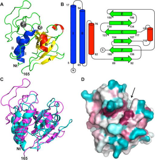 Crystal structure of the N-terminal cysteine-histidine dependent amido-hydrolase/peptidase domain (CHAPK) of the endolysin LysK from staphylococcal bacteriophage K. (A) Overall structure. Beta-strands are shown in green, alpha-helices in blue and 310-helices in red. The calcium ion is shown in grey, the zinc ion in white. The N-terminal end (Nt), residue 165, the alpha-helices and the beta-strands are labelled. (B). Topology diagram. The same labelling is used as in panel A. (C). Superposition of CHAPK (magenta) onto structure onto the CHAP domain of the streptococcal phage endolysin PlyC (PDB entry 4 F88; cyan). (D). Space-filling representation with conserved residues in almost the same orientation as panel A, but slightly tilted forward to better illustrate the hydrophobic groove, which is indicated with an arrow. The colour coding goes from blue for less conserved residues, via white, to purple for the most conserved residues.