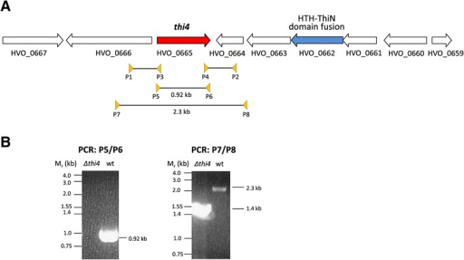 TheHaloferax volcanii thi4gene and its in-frame deletion. (A) Schematic representation of the thi4 gene on the genome of Hfx. volcanii DS2. HVO_0662 encodes a ThiN homolog with a predicted N-terminal helix-turn-helix (HTH) DNA binding domain. The PCR primer pairs (P1/P2 and P3/P4) used to generate the thi4 gene deletion and the PCR primer pairs (P5/P6 and P7/P8) used to screen for the thi4 gene deletion are indicated. (B) PCR products generated for the Δthi4 (Δhvo_0665) mutant and parent (H26, wt) strains using primer pairs P5/P6 and P7/P8 as indicated. Size reduction with primer pair P7/P8 and the absence of a signal with primer pair P5/P6 confirm the deletion in the Δthi4 strain.