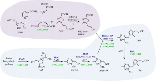 The pathway forde novobiosynthesis of thiamine in the archaeonHaloferax volcaniiis an apparent hybrid of bacterial and yeast pathways. Yeast and bacterial like steps are shaded by purple and blue, respectively, with associated enzymes of thiamine biosynthetic indicated in text with similar color coding. Hfx. volcanii homologs are indicated by gene locus tag in green. Question mark (?) designated enzyme is yet unassigned. THI4-SH specifies the catalytic cysteine side chain. THI4-C = CH indicates the dehydroalanine form of the enzyme after sulfur transfer. The sulfur atom associated with formation of the thiazole ring is highlighted in red. In the Hfx. volcanii model for thiamine biosynthesis, the thiazole moiety of thiamine (4-methyl-5-(β-hydroxyethyl)thiazole phosphate; HET-P or THZ-P) is generated by a yeast-like mechanism. HvThi4 (HVO_0665) converts nicotinamide adenine dinucleotide (NAD) and glycine to ADP-thiazole (ADT), which predicted to be hydrolyzed to THZ-P by a yet to be identified NUDIX-type hydrolase [29]. The remaining steps of thiamine biosynthesis are related to bacterial systems. In particular, the PurM-like AIR synthetase HVO_1557 is predicted to form 5-amino-1-(5-phospho-D-ribosyl)imidazole (synonym 5-aminoimidazole ribotide; AIR), which serves as a substrate for a ThiC-like S-adenosyl-methionine (SAM)-dependent HMP-P synthase (HVO_2154) in the generation of 4-amino-hydroxymethyl-2-methylpyrimidine phosphate (HMP-P). Once generated, HMP-P is phosphorylated by a bacterial ThiD-type HMP-P kinase (HVO_2666) which is also conserved in the N-terminal domains (Ntd) of yeast THI20 and THI21. Thiamine-phosphate synthase homologs of the ThiE-type (HVO_2668) and ThiN-type (HVO_0662) are predicted to condense THZ-P with HMP-PP to form thiamine monophosphate (TMP). TMP is then phosphorylated to TPP by a proposed bacterial ThiL-type thiamine-monophosphate kinase (HVO_1861).