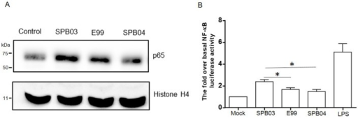 Role of TcpF in NF-κB activation.(A) The translocation of the p65 subunit of NF-κB to the nucleus of RAW264.7 macrophages infected (MOI = 10) with wild type, TcpF mutant (SPB03) and complemented strain (SPB04) for 1 hour or without infection (Control), was analyzed by subjecting the nuclear fraction to Western blot with p65 antibody. (B) The NF-κB transcriptional activity was assessed during infection of MEF cells by wild type, TcpF mutant and complemented strains. MEF cells were transfected with NF-κB-luciferase and Renilla-luciferase reporter constructs. After 24 hours, the medium was changed and cells were challenged with enterococci at a MOI of 10 or with LPS (0.5 µg/ml) as positive control. The data represent the mean values of three independent experiments and error bars indicate the standard deviations. Significance * P<0.05.