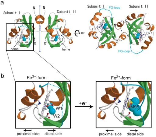 Heme redox-dependent structural changes in Ec DOS-PAS-A (PDB codes: 1V9Y and 1V9Z) [27,28]. The protein structure of the heme Fe(III) complex, a catalytically inactive form toward c-AMP, is flexible; thus the F-G loop cannot be determined, and the 6th axial ligand appears to be the hydroxide anion. In contrast, the protein structure of the heme Fe(II) complex, a catalytically active form toward c-AMP, is rigid, enabling determination of the F-G loop and identification of M95 as the 6th axial ligand. Adapted from [27].