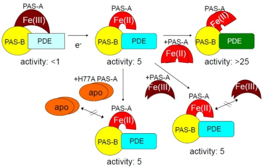 Addition of Ec DOS-PAS-A-heme Fe(II) to full-length Ec DOS-heme Fe(II) enhanced catalytic activity toward c-AMP by five-fold [21]. This catalytic enhancement was not observed upon adding Ec DOS-PAS-A-heme Fe(III) or heme-free (apo) Ec DOS-PAS-A to full-length Ec DOS-heme Fe(II). Furthermore, addition of Ec DOS-PAS-A-heme Fe(II) to PAS-A-truncated Ec DOS did not enhance catalytic activity. Therefore, the enhancement of catalytic activity is likely caused by protein–protein (PAS-A–PAS-A) interaction, as demonstrated by the novel protein microarray [30,31] (see Figure 10). Adapted from [21].