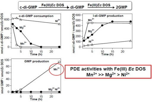 Mn2+ facilitates PDE catalytic activity toward c-di-GMP, but the catalytic mechanism is different from that of Mg2+. In the presence of Mn2+, full-length Ec DOS containing a heme Fe(III) complex exhibits fully competent PDE functions, catalyzing the two-step conversion of c-di-GMP all the way to GMP via l-di-GMP [35]. The first reaction from c-di-GMP to l-di-GMP is much faster with Mn2+ than with Mg2+, and the second reaction (cleaving l-di-GMP to form GMP) does not occur in the presence of Mg2+. Adapted from [35].
