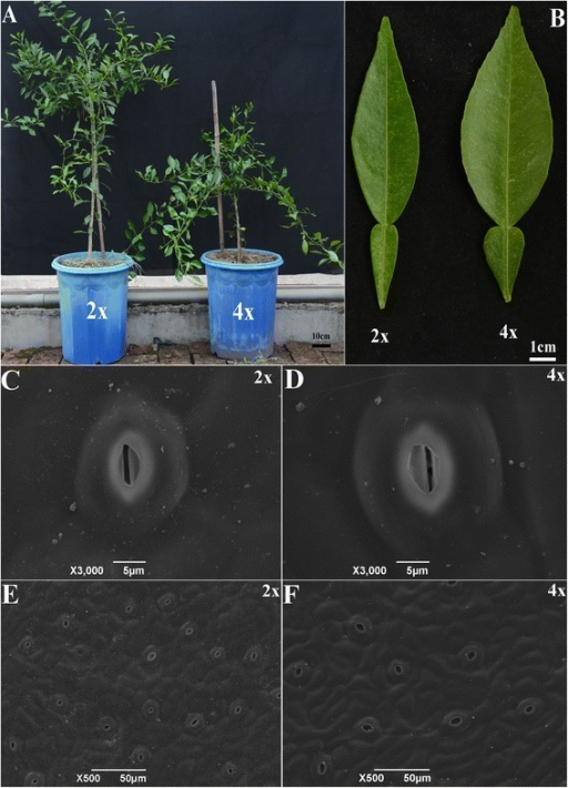 Morphological characterization of 2× and 4× Ziyang xiangcheng. (A) 2× and 4× seedlings; (B) Leaves of 2× and 4×; (C), (D) Stomata size of 2× and 4×; (E), (F) Stomata density of 2× and 4×.