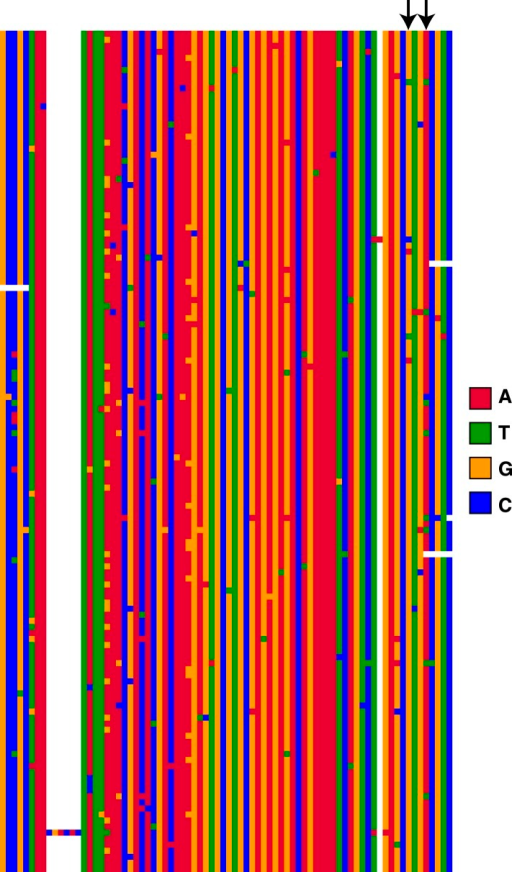 Alignment of ISY elements from the D. miranda MSH22 genome assembly.139 ISY elements from the MSH22 neo-X chromosome were identified and 200 basepairs from their 5′ flanks were aligned. The black arrows point to the sites where the derived 'T' alleles are common among ISX elements. In contrast, only a single ISY element from the neo-X chromosome harbors the TT haplotype.DOI:http://dx.doi.org/10.7554/eLife.05899.004