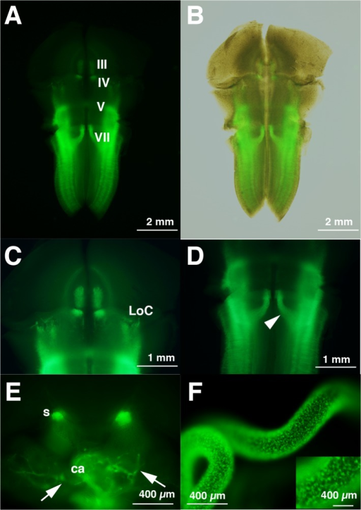EYFP fluorescence is evident in known sites of Phox2b/PHOX2B expression among E14.5 Phox2b-EYFP/CreERT2 Tg rat embryos.A, C, D, Flat-mount preparation of the midbrain and hindbrain of fluorescent-positive E14.5 embryo. The signals in the III and IV motor nuclei and LoC are weaker than those of E12.5 shown in Fig 3. The dorsal migratory trajectories of motor neurons of V and VII are clearly evident in D (arrowhead). B, Superposition of figures under white-light and fluorescence of A. E, Coronal thick section (~100 μm) at the level of cardiac primodia (ca). Axons of the vagus (Xth) enter the developing cardiac primodia (arrows). The sympathetic ganglionic chain (s) are fluorescent-positive. F, Fluorescent-positive enteric nervous system progenitors derived from enteric neural crest cells are seen in the rat E14.5 intestine. The inset shows magnified views of the intestine.