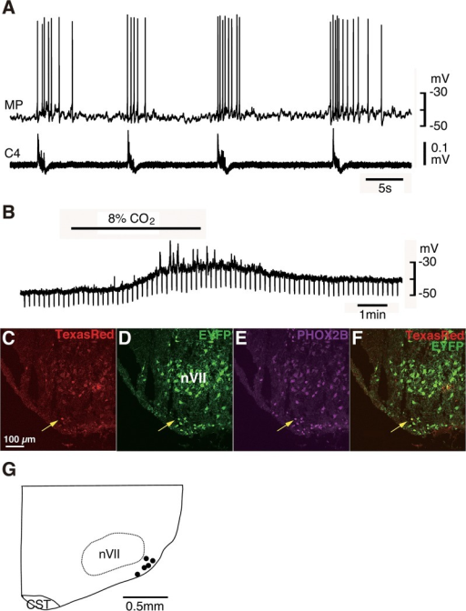 Pre-I neurons in Phox2b-EYFP/CreERT2 Tg rats are EYFP-positive.A, Burst pattern of the recorded neuron in the rostral pFRG of newborn Tg rat shows typical Pre-I neuron discharge. MP, membrane potential; C4, fourth cervical ventral root activity. B, Membrane potential response to high CO2 stimulation (2% CO2 → 8% CO2) in the presence of tetrodotoxin (TTX). Negative deflections of the baseline membrane potential are proportional to input resistance, indicating that the neuron is CO2 sensitive. C-F, Coronal sections of brainstem-spinal cord preparation after electrophysiological analysis (A, B) to identify the location of the recorded neuron stained by Texas Red (yellow arrows). The recorded neuron is EYFP-positive and PHOX2B-immunoreactive. G, Distribution of EYFP-positive Pre-I neurons with CO2 sensitivity, plotted in the corresponding slice at the level of 500–600 μm rostral to the caudal end of the facial nucleus. Each dot represents a single recorded neuron (n = 5). nVII, facial nucleus; CST, corticospinal tract.