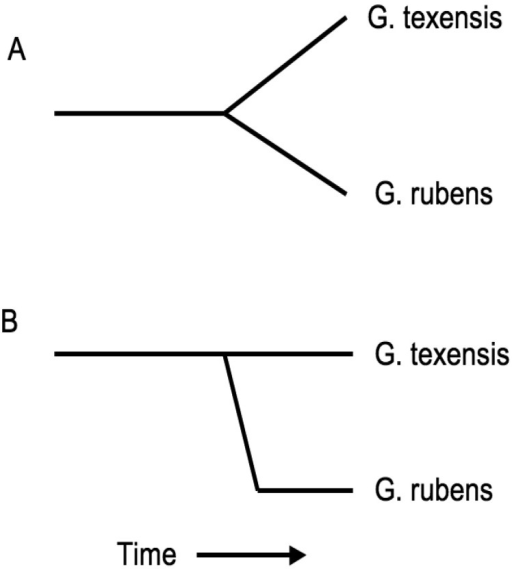 Contrasting models of speciation. Figure 7a shows the classical gradualist model with divergence attributable to approximately equal changes in both sister lineages; Figure 7b shows a punctuational view of species formation, with the majority of divergence attributable to rapid change within one 'daughter' lineage and relatively little change within the 'parental' lineage. Currently available molecular data favor a peripatric 'puctuational' origin of G. rubens.