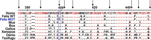Wild-type and mutant C-terminal domains of COLQ proteins.Alignment of partial protein sequences of COLQ, translated from the c.[1190G>A] mutated allele identified in affected Sphynx and Rex Devon cats (Felis MUT) or wild-type alleles reported in human (Homo), mouse (Mus), cow (Bos), chicken (Gallus), xenopus (Xenopus), zebrafish (Danio), fugu (Taxifugu) and cat (Felis WT). The cysteine-rich domain of the C-terminal end of the protein starts with amino acid number 375 in human and cat proteins and ends with amino acid number 451 (according to [10]). Human COLQ sequence was used as the reference sequence. Conserved residues are written in red within the reference sequence and represented by red dots in other sequences. Dashes represent deletions. Arrows point out the ten conserved cysteine residues. Cysteine 397, mutated in affected cats (C397Y), is surrounded in blue.