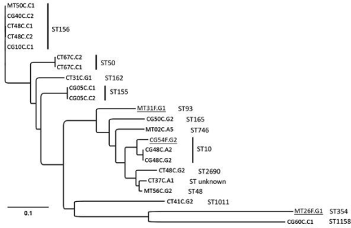 Phylogenetic analyses of mcr-1–positive Escherichia coli isolated from chickens and chicken farmers, Vietnam, 2012–2013. Maximum-likelihood tree of 22 mcr-1–carrying E. coli isolated from 15 chicken fecal samples and 3 human fecal swab samples (underlined), constructed by using CSI Phylogeny 1.4 (https://cge.cbs.dtu.dk//services/CSIPhylogeny/), shows a genome-wide single-nucleotide polymorphism (SNP) comparison. A total of 74,585 SNPs were concatenated for pairwise comparison (difference between pairs 0–32,267 SNPs). The multilocus sequence types (ST) are indicated next to the isolate names. The ST155 isolates CG05C.C1 and CG05C.C2 differ by 1 SNP; the ST10 isolates CG48C.A2 and CG48C.G2 differ by 1 SNP and 1 antimicrobial resistance gene; the ST156 isolates CT48C.C1 and CT48C.C2 differ by 4 SNPs and 3 antimicrobial resistance genes; and the ST50 isolates CT67C.C1 and CT67C.C2 are phenotypically different but have 0 SNP differences and originate from the same sample and are therefore likely to be highly related or identical. Scale bar indicates number of nucleotide substitutions per site.