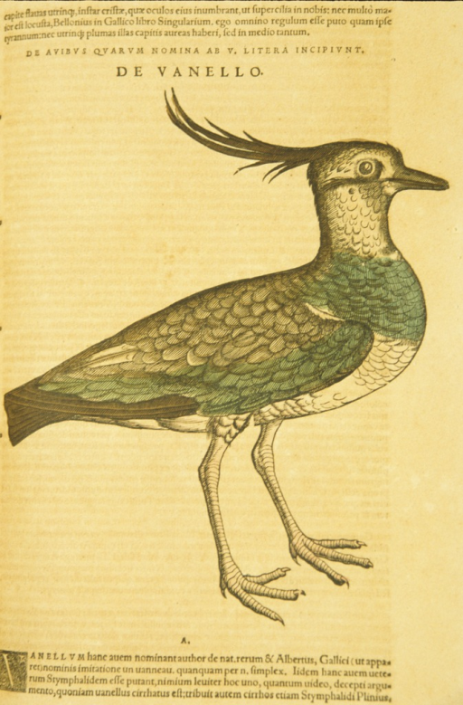 <p>Hand-colored woodcut of the Northern Lapwing in profile.</p>