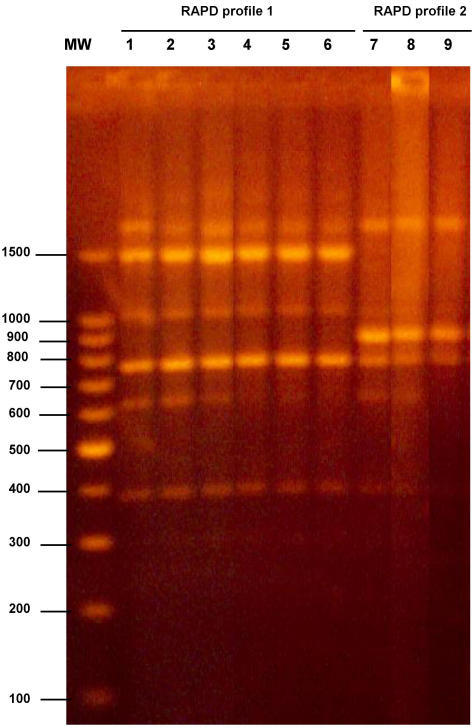 RAPD profiles generated using primer M13. Lane MW contains DNA molecular size marker (100 bp ladder, Promega, Madison, WI).