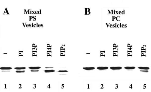 Effects of different phospholipids on the proteolysis of Boi1-PH. Shown are immunoblots, probed with anti-Boi1 antibodies, of aliquots from a Boi1-PH-bearing yeast extract that was incubated, in the presence of 2 mM CaCl2 (to allow proteolysis), with vesicles containing PS (part A) or PC (part B). The vesicles contained either no additional lipid (lanes 1) or a 1:20 (mass:mass) ratio (with respect to PS or PC) of PI (lanes 2), PI3P (lanes 3), PI4P (lanes 4), or PIP2 (lanes 5).