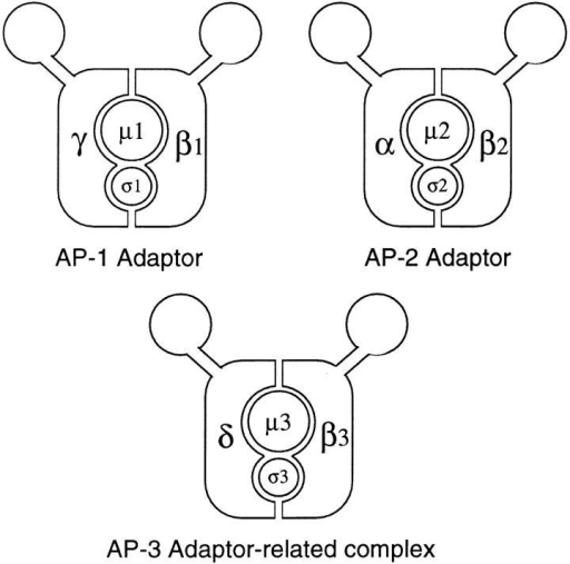 Diagrams of the two conventional adaptor complexes,  together with the adaptor-related complex, AP-3. The AP-1 complex is associated with the TGN, the AP-2 complex is associated  with the plasma membrane, and the AP-3 complex also appears  to be associated with the TGN as well as with more peripheral  membranes. Each complex consists of four subunits, belonging to  four different families. γ, α, and δ are related; β1 (β′), β2 (β), and  β3 (β-NAP/β3B and β3A) are related; μ1 (AP47), μ2 (AP50),  and μ3 (p47A/μ3A and p47B/μ3B) are related; and σ1 (AP19),  σ2 (AP17), and σ3 (A and B) are related. EM studies of the AP-2  complex have revealed that it has a structure resembling a head  flanked by two ears connected by flexible hinges (Heuser and  Keen, 1988), and although such studies have not yet been carried  out on AP-1 or AP-3, the sequence homologies suggest that all  three complexes have a similar structure.