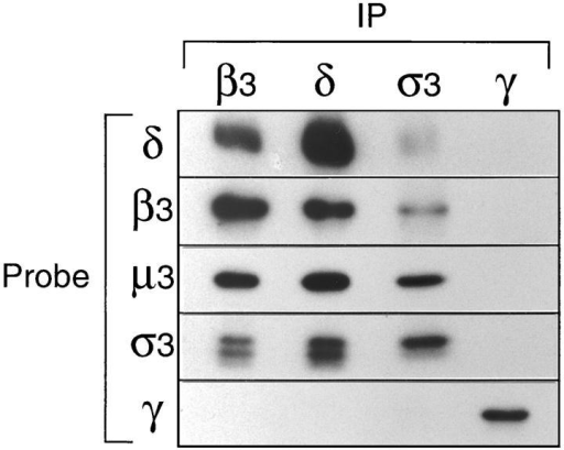 Coimmunoprecipitation of AP-3 subunits. Pig brain cytosol was immunoprecipitated under nondenaturing conditions  with affinity-purified polyclonal antibodies against β3B, δ, σ3  (crossreacting with both the A and B isoforms), and γ. Gels were  blotted, and the appropriate region was cut out and probed with  each of the above antibodies, as well as with anti-μ3 (which does  not recognize the native complex). The four subunits of the AP-3  complex, δ, β3, μ3, and σ3, all coimmunoprecipitate; the γ subunit of the AP-1 complex does not coimmunoprecipitate with antibodies against the AP-3 components, and antibodies against γ  do not bring down any of these components. The doublet labeled  with anti-σ3 presumably corresponds to the A and B isoforms,  one of which appears to be preferentially immunoprecipitated  with this antibody.
