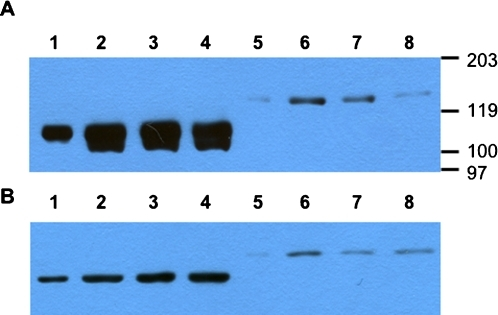Expression of recombinant multi-partite fusion proteins based on conserved genes of influenza in vitro.Lanes 1–4 - cells transfected with pNPM1NS1, lanes 5–8 - with pNPM1M2NS1. A - anti-Flag-tag antibodies used for protein detection; B - anti-HA-tag antibodies used. Lanes 1, 2, 5 and 6 - starting point of chase (0 hours). Chase time: 3.5 hours (panel A, lanes 3 and 7), 7 hours (panel A, lanes 4 and 8), 8 hours (panel B, lanes 3, 4, 7 and 8). Proteosome inhibitor MG132 added to samples in panel B, lanes 4 and 8. Lanes 1 and 5 contain ⅓ of total protein loaded to lanes 2–4 and 6–8, correspondingly. Position of molecular weight markers is shown.