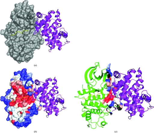 Example of a conservation-mapped molecular surface and an interfacial subset. (a) A molecular surface is generated from the CDK2 chain in a structure of the CDK2–cyclin A complex (PDB code 1qmz; Brown et al., 1999 ▶). The cyclin molecule is shown in purple and the molecular surface in grey. The peptide substrate is shown in yellow. (b) In the next step of the analysis, conservation scores calculated from a multiple sequence alignment of cdc2 functional homologues are projected onto the molecular surface. The molecular surface is now coloured in shades of red (high conservation), white (intermediate conservation) and blue (low conservation, i.e. high variability). (c) The CDK2–cyclin A interface is extracted by identifying that part of the CDK2 molecular surface that is buried by the cyclin A molecule upon complex formation.
