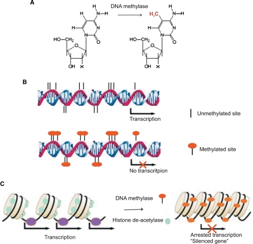 methylated dna unmethylated dna Possible mechanism for gene silencing parminder kaur1,2, birgit plochberger3, peter costa2,  of methylated and unmethylated dna support this view.