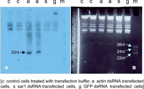 Actin dsRNA transfection of H. vitripennis -Z15 cells results in small interfering RNA (siRNA) accumulation. Cells were transfected with transfection reagent (c), 2μg of actin dsRNA (a), sar1 dsRNA (s), GFP dsRNA (g) and harvested 72hrs post transfection. Large and small RNA fractions were extracted (Ambion, mirVana PARIS) and 1μg of the small RNA fractions was separated by electrophoresis in a 7M urea 15% (w/v) polyacrylamide gel, and the gel was stained with ethidium bromide (Panel B). RNA was transferred onto a positively charged nylon membrane (NitroBind, Cast, Pure Nitrocellulose, GE) and UV cross-linked. 32PUTP labeled negative sense actin RNA transcripts were generated in vitro using T7 RNA polymerase (T7 MAXIscript, Ambion), fractionated and used as probe. Hybridization was performed using standard procedures (mirVana PARIS, Ambion). siRNAs were detected only in actin dsRNA treated cells (a) and not in the controls (c, s and g) (Panel A). Positions of marker siRNAs are labelled in Panel B and that of actin siRNAs (of ~22nt) in Panel A.