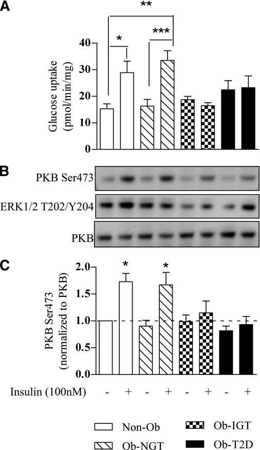 Phenotypical insulin sensitivity is retained in human myotubes in culture. Myotubes were treated with 100 nmol/L insulin for 30 min before (A) assaying 2-deoxyglucose uptake or for 10 min before (B) immunoblotting to assess the phosphorylation status of PKB/Akt and extracellular signal–related kinase-1/2 and the total protein abundance of PKB/Akt. C: Effect of insulin on PKB/Akt phosphorylation was quantified and expressed as a fold change from untreated Non-Ob cells. Values are mean ± SEM from five separate experiments; glucose uptake values were performed in triplicate. *P < 0.05 vs. Non-Ob. **P < 0.005 vs. Non-Ob; ***P < 0.0005 vs. Non-Ob.